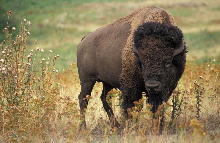 Европейски бизон - Зубър